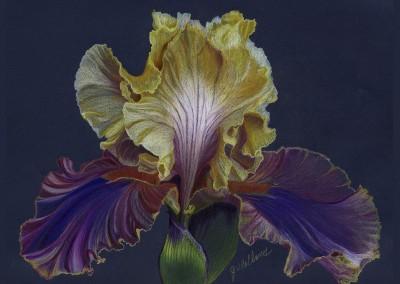 June's Iris