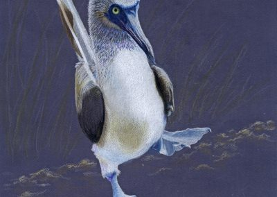 Bluefoot Booby